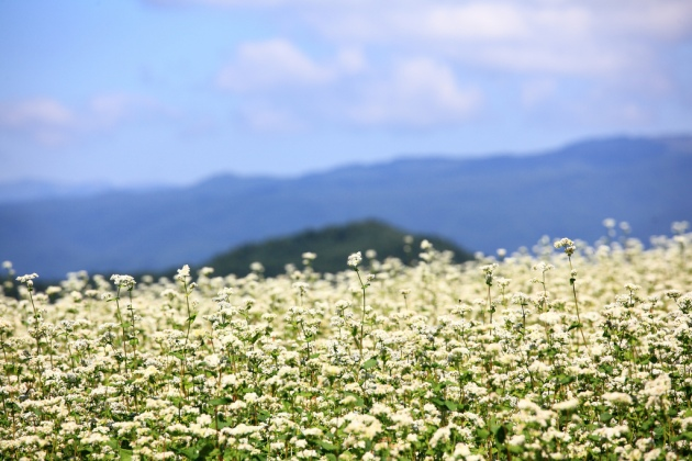 A field of buckwheat flowers by TANAKA Juuyoh (田中十洋)