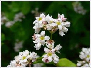 Buckwheat Flower 2
