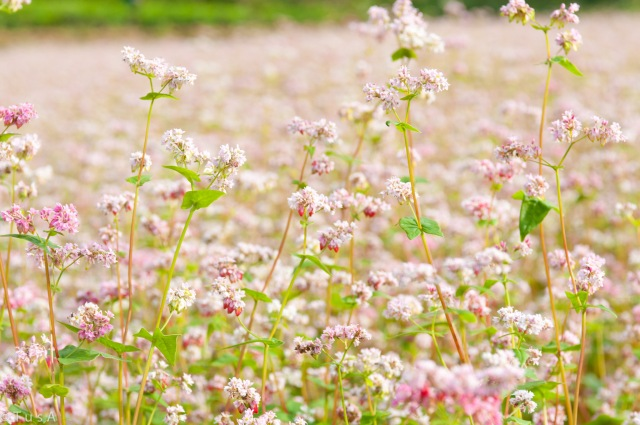 Buckwheat Flowers Season