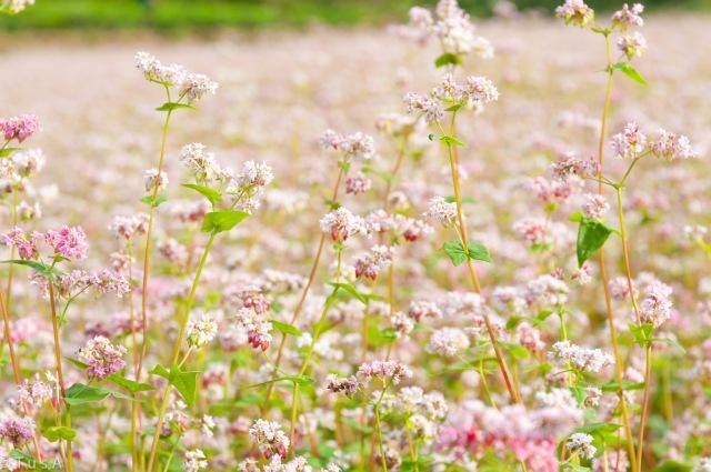 Buckwheat Flowers Season